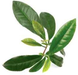 Tea tree